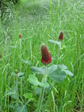 Trèfle incarnat, incarnatum de trifolium Image stock