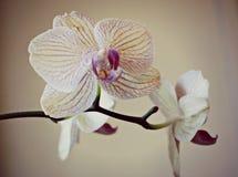 Tri орхидеи цвета Стоковое Изображение RF