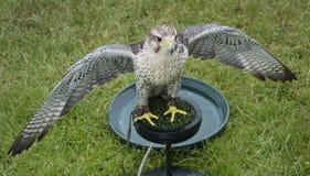 Tri bred falcon wings spread stock photos