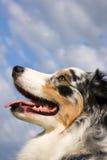 Tri-color australische Schäferhund-Nahaufnahme Lizenzfreie Stockbilder