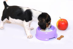 Tri-color beagle puppy drinks milk Royalty Free Stock Photos