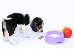 Tri-color beagle puppy drinks milk Stock Image