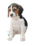 Tri-color beagle puppy sitting Royalty Free Stock Photos