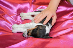 Tri-color beagle puppy sleeping Stock Photography