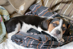 Tri-color beagle puppy sleeping royalty free stock image