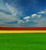Tri-color blooming field and sky with clouds Stock Photos