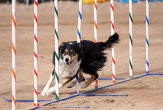 Tri-Color Border Collie weaving through poles. In an agility course Royalty Free Stock Photography