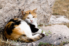 Tri-color cat who lives in the ruins of Athens, Peloponnese, Royalty Free Stock Photos