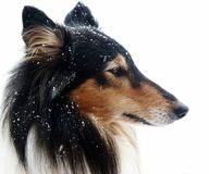 Tri-Color Collie in the snow. Beautiful british tri-color collie with snowflakes Stock Photo