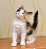 Tri-color cute kitten. Funny playful fluffy kitten Tri-color color stock photography