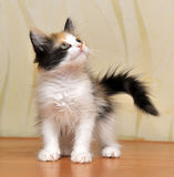 Tri-color cute kitten. Funny playful fluffy kitten Tri-color color stock photos