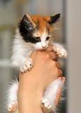Tri-color cute kitten Stock Photos
