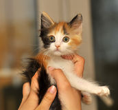 Tri-color cute kitten Stock Photography