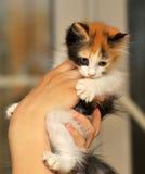 Tri-color cute kitten Stock Image