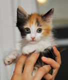 Tri-color cute kitten Royalty Free Stock Photos