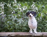 Tri color doxie stands on stone ledge infront of white flowers. Smiling speckled mostly white dachshund standing on a rock wall with white flowers in the garden royalty free stock image
