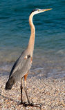 Tri Color Heron Stock Photography