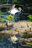 Tri-color Heron Royalty Free Stock Photography