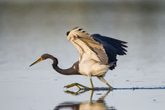 *Tri-color heron runs for bait Royalty Free Stock Photography