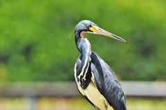 Tri color heron. Standing on the rails of Wakodahatchee Wetlands Delray beach Florida Royalty Free Stock Image