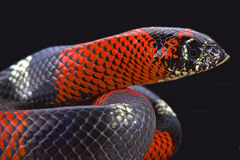 Tri-color hognose snake (Lystrophis pulcher). The Tri-color hognose snake (Lystrophis pulcher) is a rear fanged venomous snake species mimicking deadly coral Royalty Free Stock Images