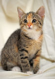 Tri-color kitten Royalty Free Stock Photography