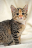 Tri-color kitten Royalty Free Stock Photos