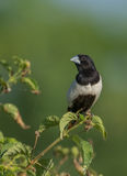 Tri Color Munia Bird Stock Photography