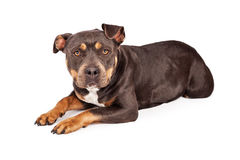 Tri Color Pit Bull Dog Laying Down. A cute tri-color Pit Bull dog laying down and looking at the camera Royalty Free Stock Image