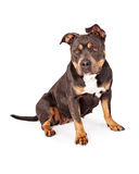 Tri Color Pit Bull Dog Sitting Royalty Free Stock Photo