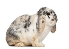 Tri Color Spotted French Lop rabbit, 2 months Royalty Free Stock Images