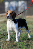 Tri-colored beagle puppy Stock Photography