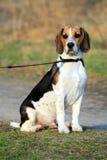 Tri-colored beagle puppy stock photo