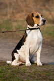 Tri-colored beagle puppy Stock Images