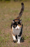 Tri-colored calico cat running towards the viewer. With her tail confidently up high Royalty Free Stock Images