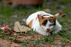 A tri-colored cat is lying on the lawn in the backyard. stock photo