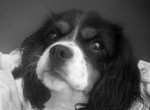 A Tri- colored Cavalier King Charles Dog. A Tri - colored cavalier king Charles dog in black and white Royalty Free Stock Photography