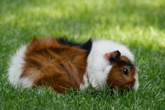 Tri-colored guine pig. Tri-colored guinea pig with rosetes in the hair grazing outside. This type of guinea pig is also called 'Abyssian royalty free stock photo