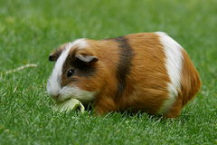 Tri-colored guinea pig. Tri-colored short haired guinea pig eating an apple on the grass stock photography