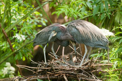 Tri-colored heron Stock Images