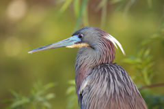 Tri-colored Heron Stock Photos