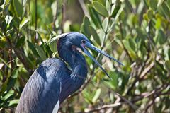 Tri-Colored Heron Royalty Free Stock Image