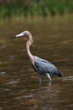 Tri-Colored Heron Royalty Free Stock Photos