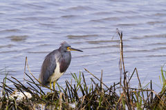 Tri colored heron Stock Photography