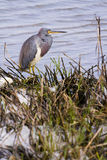 Tri colored heron Stock Photo