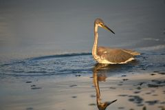 Tri-colored Heron. Wading Stock Image