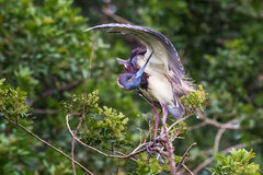 Tri-Colored Heron Royalty Free Stock Images