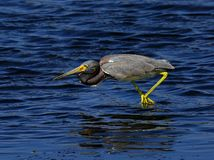 Tri-colored Heron Royalty Free Stock Photo
