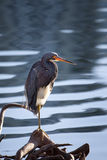 Tri colored Heron bird Stock Photography