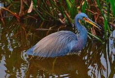Tri-Colored Heron (Egretta tricolor) Bird. Tri-Colored Heron (Egretta tricolor) wading in water Royalty Free Stock Photography